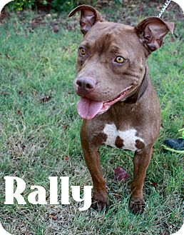 Pit Bull Terrier Mix Dog for adoption in Everman, Texas - Rally!