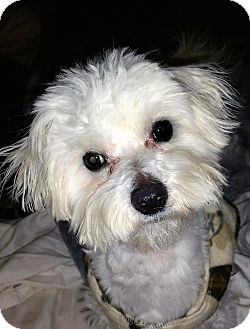 Maltese Mix Dog for adoption in Franklin, Tennessee - Poppy