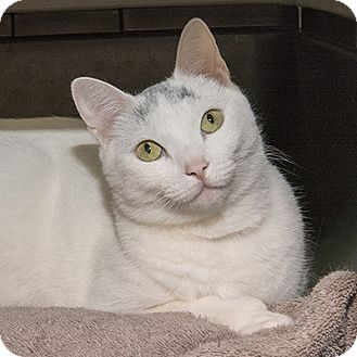 Domestic Shorthair Cat for adoption in Wilmington, Delaware - Snowflake