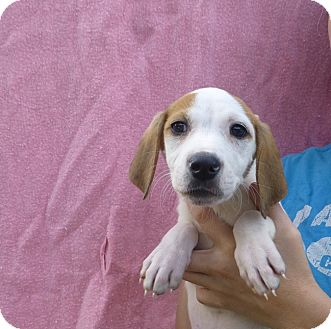Beagle/English Springer Spaniel Mix Puppy for adoption in Oviedo, Florida - Ruby