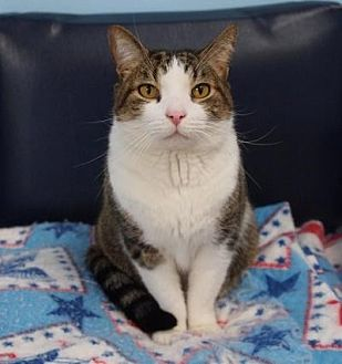 Domestic Shorthair Cat for adoption in Ocean View, New Jersey - Stryker