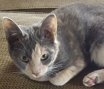 Domestic Shorthair Cat for adoption in Salisbury, North Carolina - Paisley