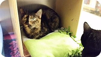 Domestic Shorthair Cat for adoption in East Hartford, Connecticut - Maia (in CT)