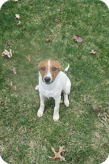 Parson Russell Terrier/Pug Mix Dog for adoption in Elyria, Ohio - Wrigley