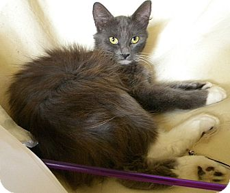 Manx Cat for adoption in Tampa, Florida - Poppyseed