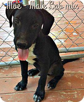 Labrador Retriever Mix Puppy for adoption in Bonham, Texas - Moe