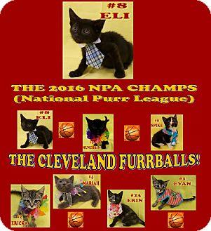 Domestic Shorthair Kitten for adoption in Northfield, Ohio - Eli