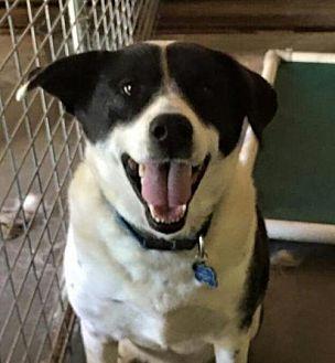 Border Collie/Hound (Unknown Type) Mix Dog for adoption in Thomasville, North Carolina - Ralphie