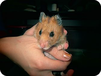 Hamster for adoption in Bensalem, Pennsylvania - Dolly