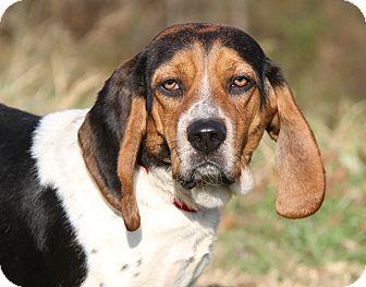 Beagle/Basset Hound Mix Dog for adoption in Marietta, Ohio - Bea