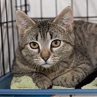 Adopt A Pet :: Munchkin: Barn Cat (FCID# 01/02/2017 - 18 Foster) - Greenville, DE