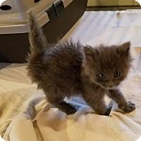 Adopt A Pet :: Oz - Geneseo, IL