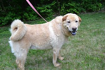 Labrador Retriever/Shar Pei Mix Dog for adoption in Nashua, New Hampshire - Lance
