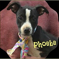 Adopt A Pet :: Phoebe - Jefferson, GA