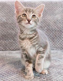 Domestic Shorthair Kitten for adoption in Chicago, Illinois - Lori