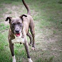 Adopt A Pet :: Arista - Virginia Beach, VA