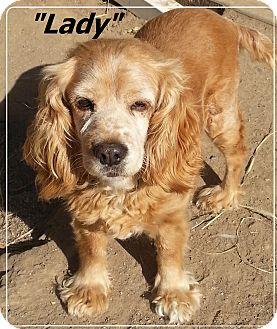 Cocker Spaniel Dog for adoption in El Cajon, California - Lady