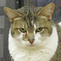 Domestic Shorthair/Domestic Shorthair Mix Cat for adoption in Woodstock, Illinois - El Dura