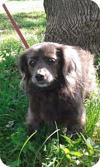 Dachshund Mix Dog for adoption in Albany, New York - Ruby (ETAA)