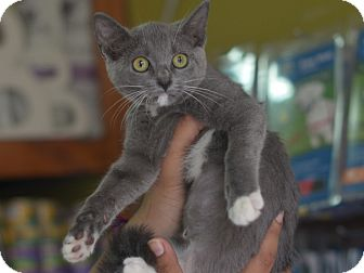 American Shorthair Kitten for adoption in Brooklyn, New York - Mirage