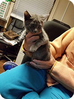 Domestic Shorthair Kitten for adoption in Alpharetta, Georgia - KITTENS: FIONA, KEV, VEE