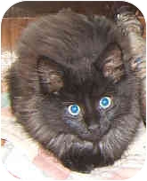 RagaMuffin Kitten for adoption in Dallas, Texas - Littermates