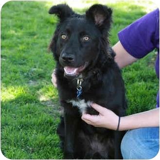 German Shepherd Dog/Chow Chow Mix Puppy for adoption in Denver, Colorado - Izzy