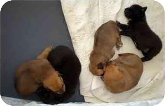 Setter (Unknown Type)/Labrador Retriever Mix Puppy for adoption in Marietta, Georgia - Witt