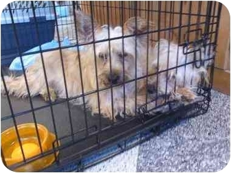 Coton de Tulear/Silky Terrier Mix Dog for adoption in East Brunswick, New Jersey - ADOPTION PENDING