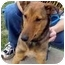 Photo 1 - Sheltie, Shetland Sheepdog/Collie Mix Dog for adoption in Lombard, Illinois - Clover