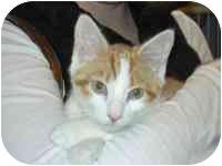 Domestic Shorthair Kitten for adoption in Arlington, Virginia - Pecan