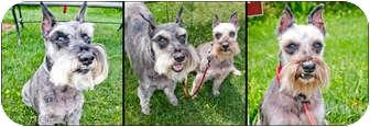 Schnauzer (Miniature) Mix Dog for adoption in Bellingham, Washington - Felix