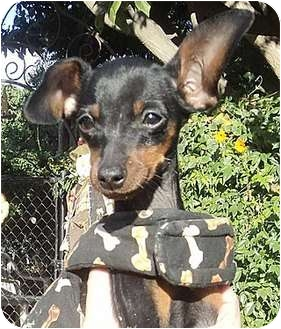 Miniature Pinscher Mix Puppy for adoption in Santa Barbara, California - Petunia
