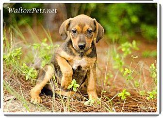 Labrador Retriever/Hound (Unknown Type) Mix Puppy for adoption in Largo, Florida - Sapphire