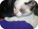 Colorpoint Shorthair Kitten for adoption in Franklin, Tennessee - Boobear