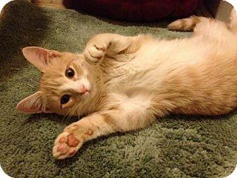Domestic Shorthair Kitten for adoption in Wakinsville, Georgia - Rodney