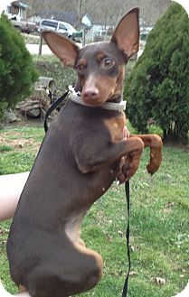 Miniature Pinscher Dog for adoption in Hazard, Kentucky - Penny
