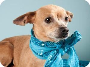 Chihuahua Mix Dog for adoption in Sacramento, California - Honey