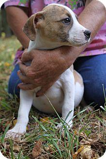 Labrador Retriever/Hound (Unknown Type) Mix Puppy for adoption in Waldorf, Maryland - Melly