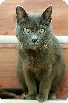 Domestic Shorthair Cat for adoption in Anderson, Indiana - Bubby