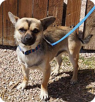 Chihuahua Mix Dog for adoption in Fort Collins, Colorado - Bobby