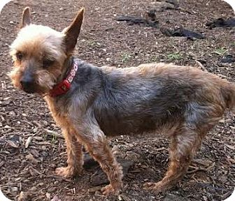 Yorkie, Yorkshire Terrier Dog for adoption in Westminster, California - Bella
