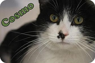 Domestic Shorthair Cat for adoption in Lewisburg, West Virginia - Cosmo