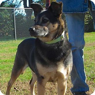 Shepherd (Unknown Type) Mix Dog for adoption in West Kennebunk, Maine - Angel