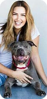 American Staffordshire Terrier/American Pit Bull Terrier Mix Dog for adoption in Redondo Beach, California - Huckleberry aka Guiness