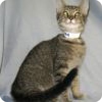 Domestic Shorthair Cat for adoption in Powell, Ohio - Kilroy