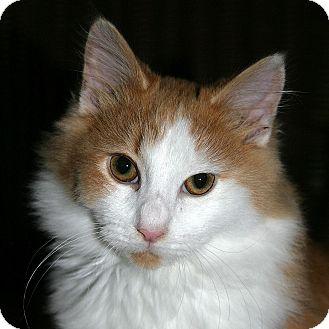 Domestic Shorthair Kitten for adoption in Port Angeles, Washington - Matthew