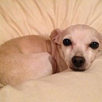 Chihuahua Dog for adoption in Fresno, California - Phillis