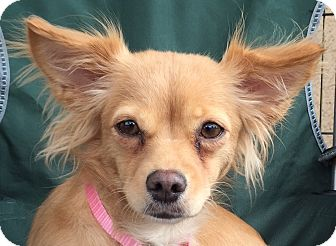 "Chihuahua/Pomeranian Mix Dog for adoption in San Marcos, California - ""Sunny"" Sunshine"