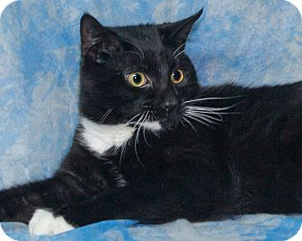 Domestic Shorthair Cat for adoption in Elmwood Park, New Jersey - Paradise
